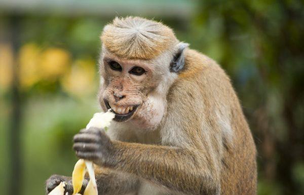מלכת אנגליה אוכלת בננות במזלג וסכין